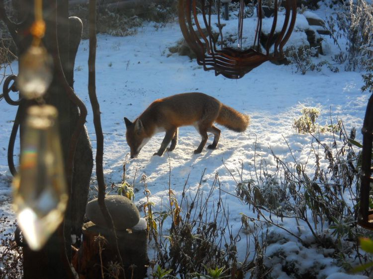 Fox in the garden at Bealtaine Cottage