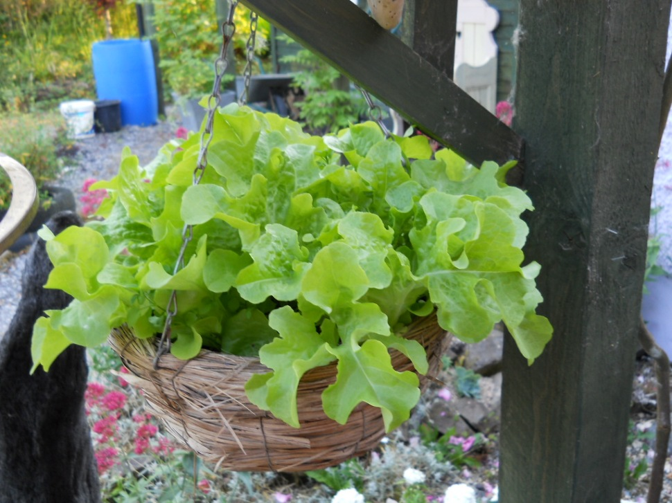 Growing Lettuce in a Hanging basket