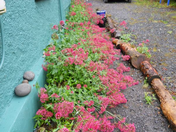 Bealtaine Cottage Valerian by the west gable wall