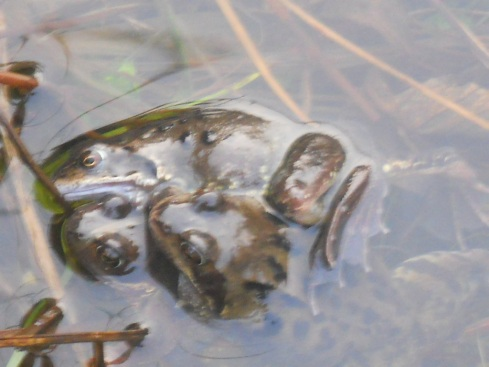 Bealtaine Cottage frogs in the pond