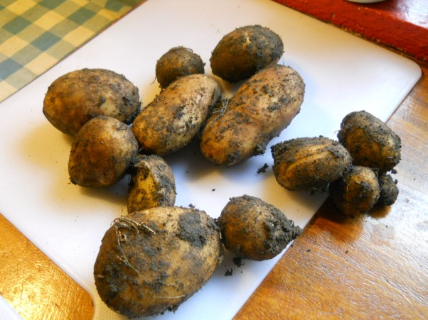 Bealtaine Cottage Organic Potatoes grown under Permaculture