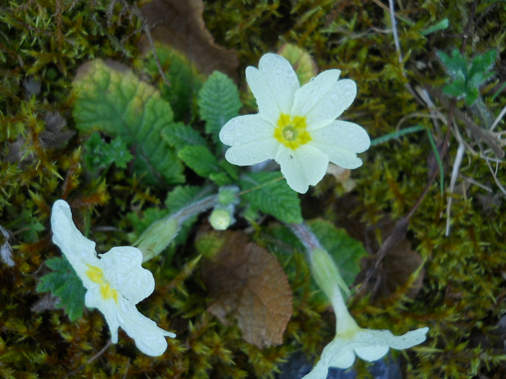 Bealtaine Cottage Permaculture March primroses