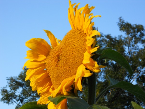 bealtaine cottage giant sunflower
