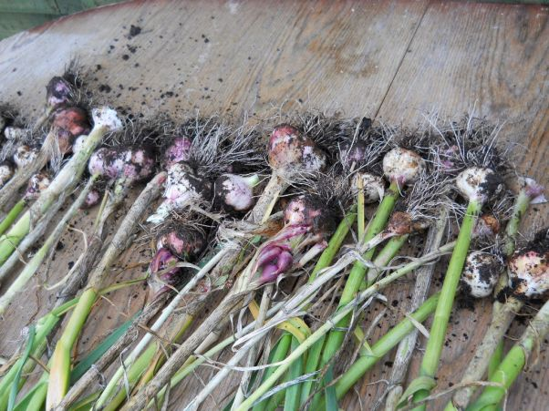 organic garlic, Bealtaine CottagePermaculture