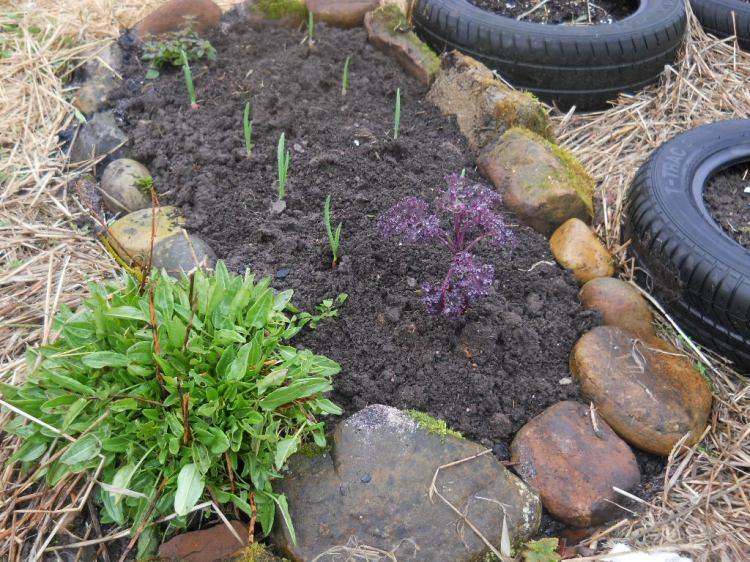 Garlic at Bealtaine Cottage Permaculture garden 015