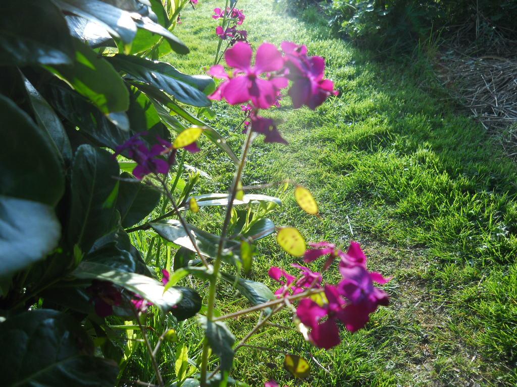 Honesty flower at Bealtaine Cottage Ballyfermoyle 007
