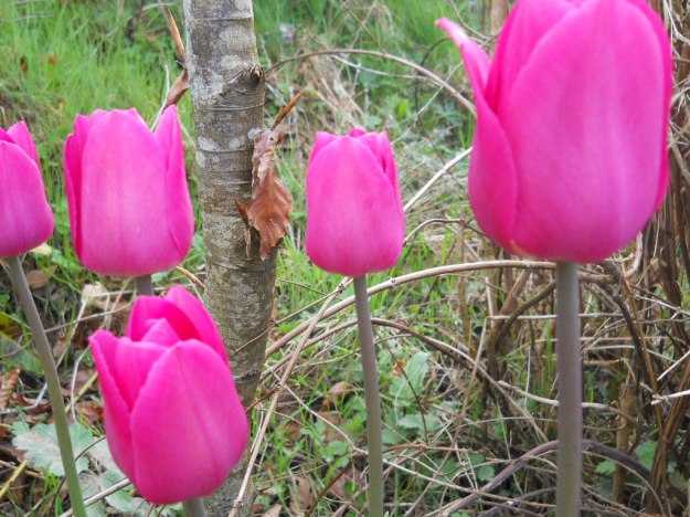 Tulips in April at bealtaine Cottage
