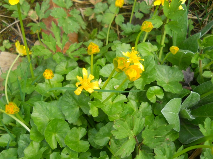 April Celandines at  Bealtaine Cottage permaculture gardens