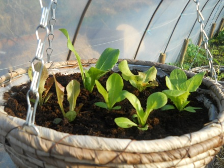 lettuce in a hanging basket at  Bealtaine Cottage