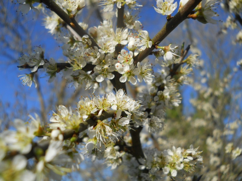 blackthorn blossom at bealtaine cottage permaculture gardens