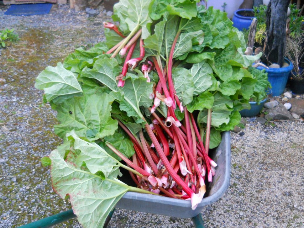 rhubarb harvest at bealtaine cottage permaculture
