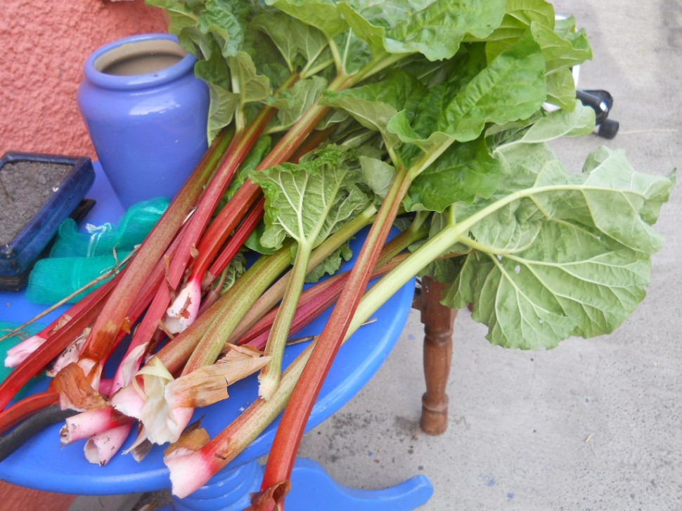 April permaculture rhubarb at Bealtainecottage 016