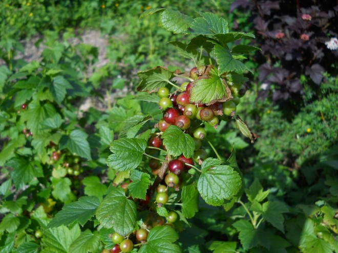 Blackcurrant and redcurrant hegebealtaine cottage 008