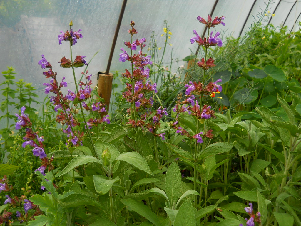 sage in the tunnel at  bealtaine cottage herbs