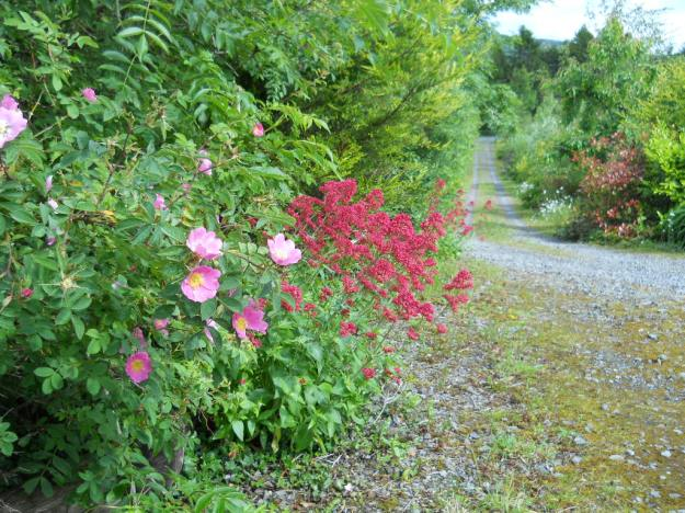 valerian and Rosa Canina growing at Bealtaine Cottage