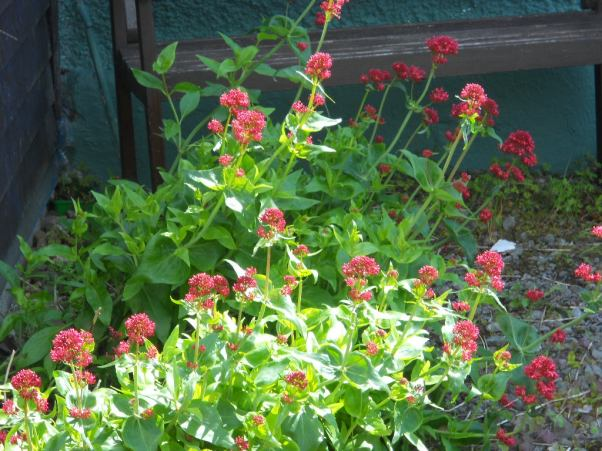 herbs at Bealtaine Cottage Permaculture