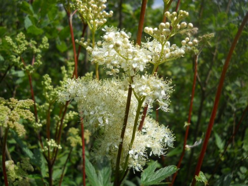 Meadowsweet at Bealtaine Cottage