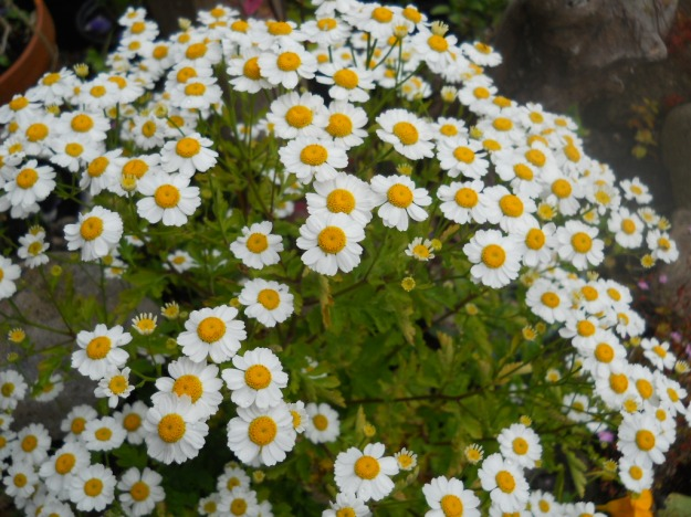 Feverfew growing at Bealtaine Cottage Permaculture smallholding