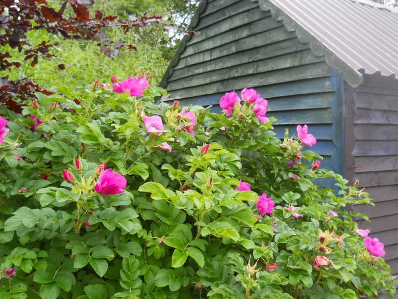 Rosa Rugosa at Bealtaine Cottage Permaculture