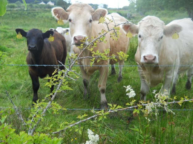 Cows eat herbs and seek out particular ones for health benefits