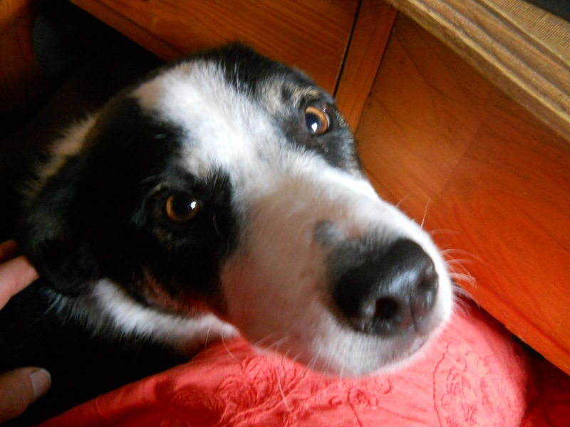 Jack, the rescue dog at Bealtaine Cottage