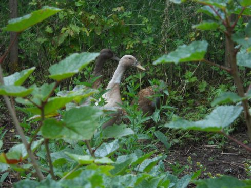 Ducks at Bealtaine Cottage