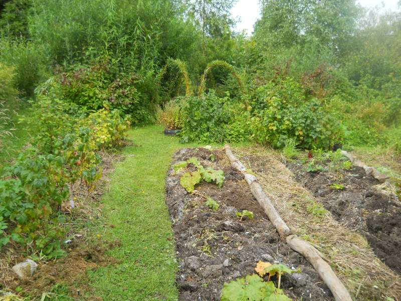 Rhubarb beds at Bealtaine Cottage Permaculture Gardens