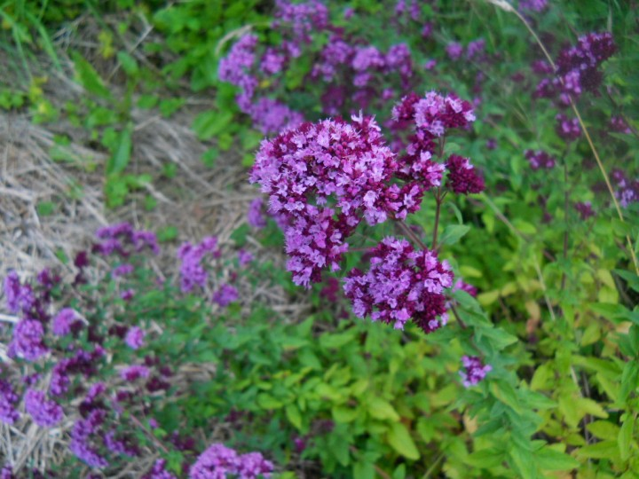 Oregano in flower at Bealtaine Cottage Permaculture Gardens