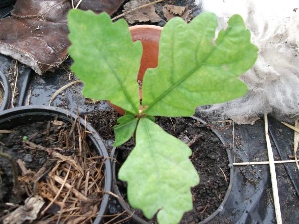 Oak seedling at Bealtaine Cottage