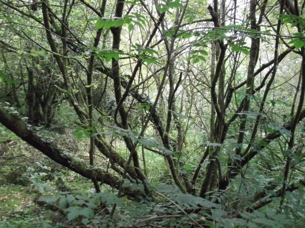 Goat Willow in the Fairy Wood at bealtaine Cottage Permaculture gardens.