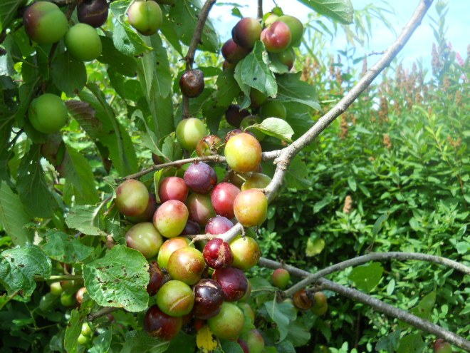 Plum tree at bealtaine cottage permaculture