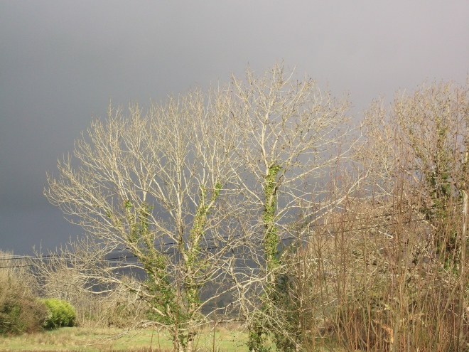 Mighty Ash tree at Bealtaine Cottage