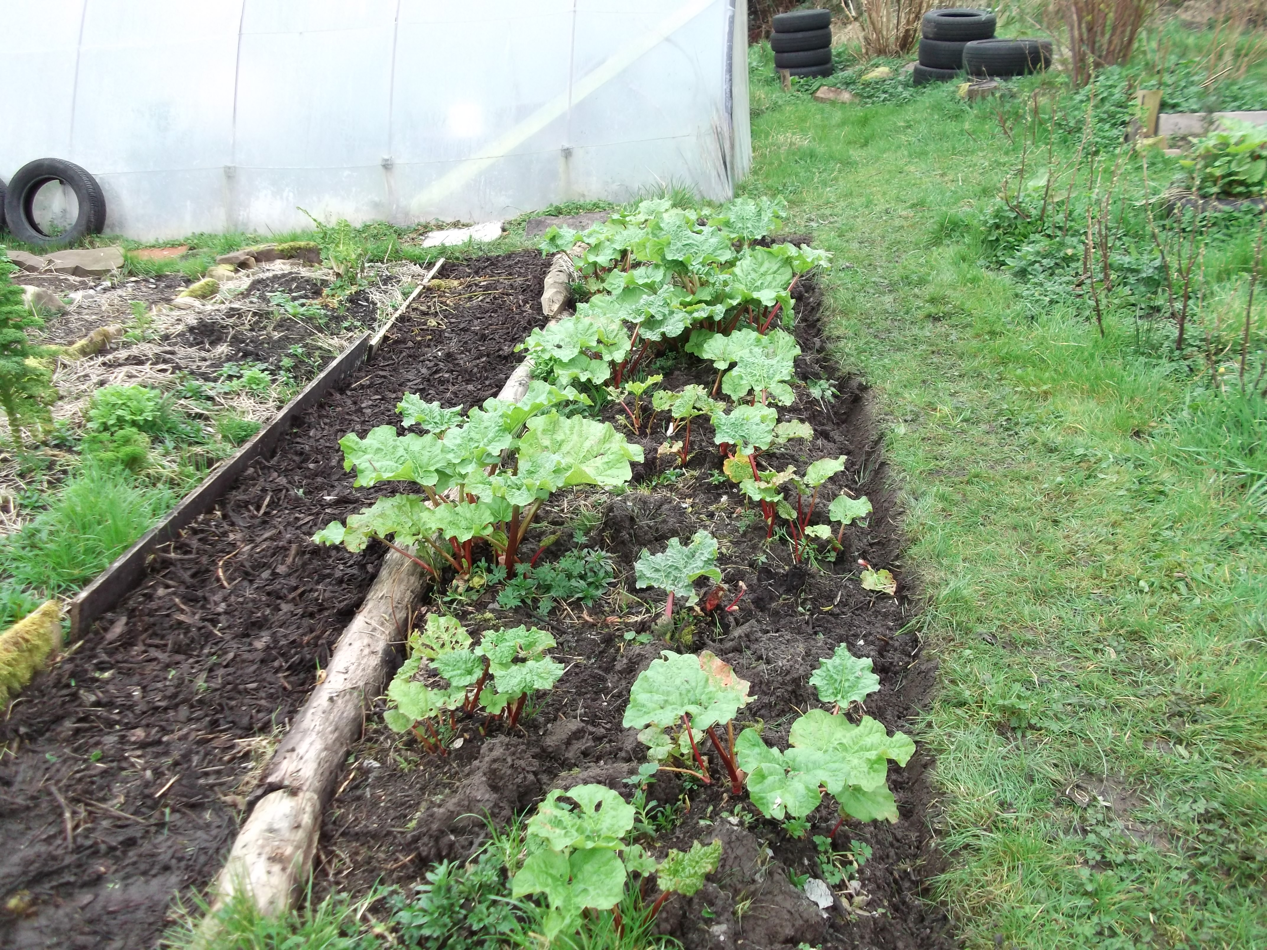 Rhubarb at Bealtaine permaculture