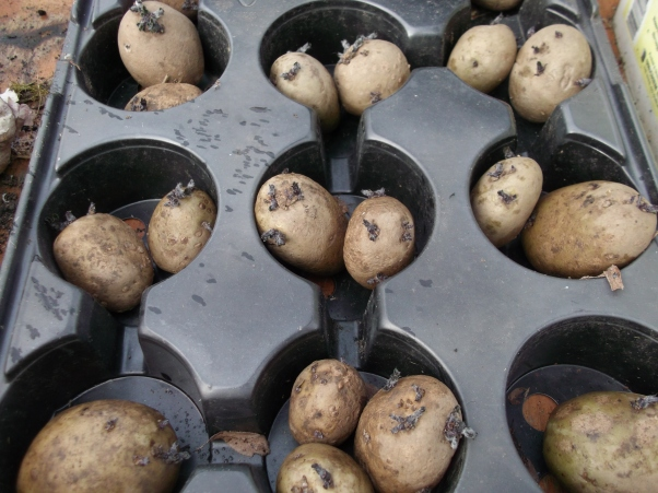 Potatoes Chitting at Bealtaine Cottage