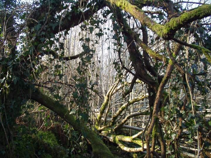 Old Rowan tree at Bealtaine Cottage