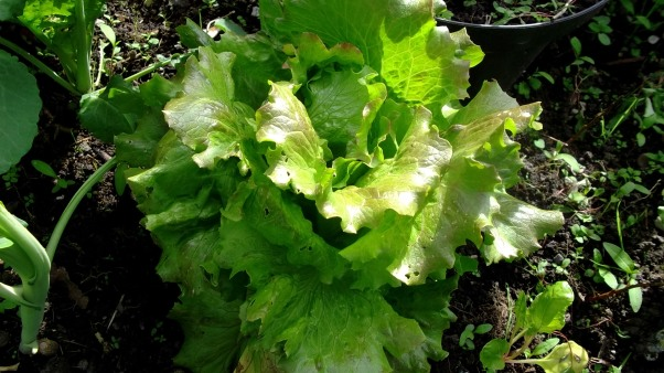 Bealtaine Cottage lettuce in the potager garden