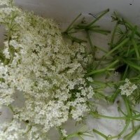 Making Elderflower Cordial...Summer in a Bottle!