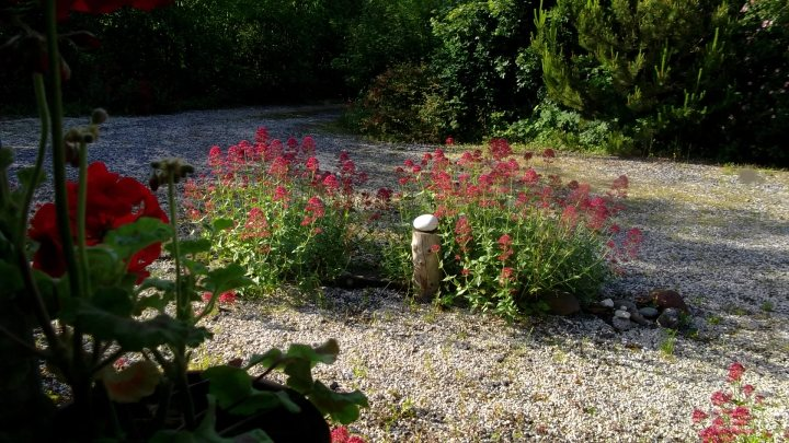 Valerian growing in the gravel around the cottage