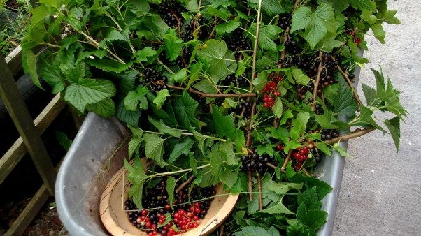 Bealtaine Cottage Blackcurrant and Redcurrants