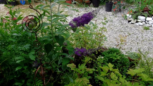 Bealtaine Cottage Buddleia flowers for the butterflies and bees