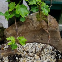 Growing Grapes in Ireland...Outside!