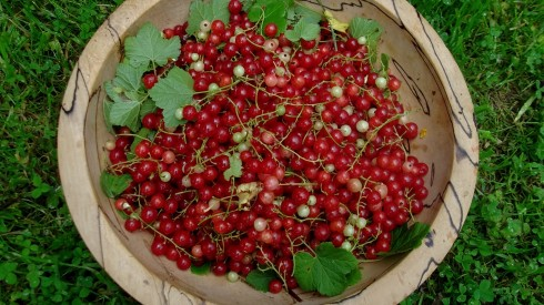 Bealtaine Cottage redcurrants from the permaculture gardens