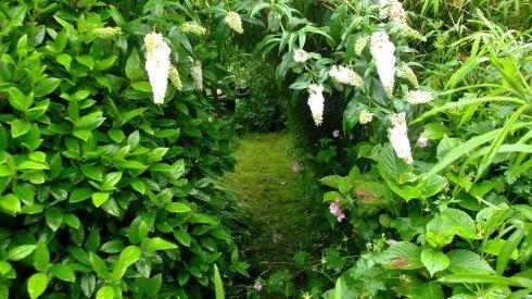 Bealtaine Cottage white buddleia