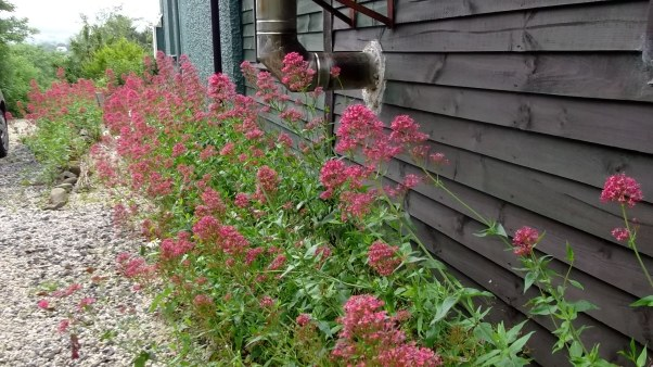 Bealtaine Cottage Valerian by the Lodge