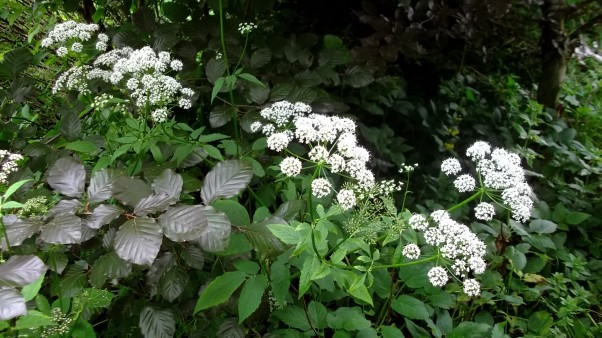 Bealtaine Cottage flowering Ground Elder