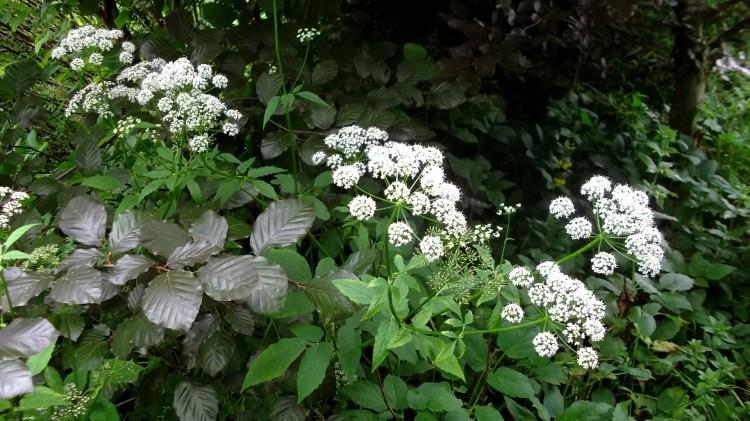 Bealtaine Cottage flowering Ground Elder
