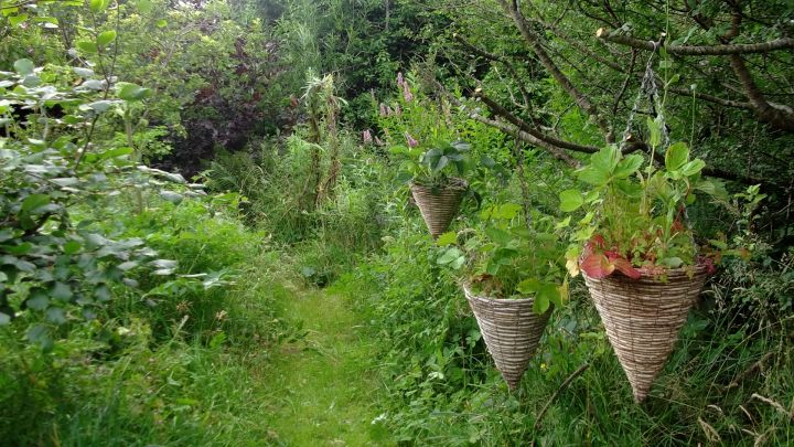 Bealtaine Cottage hanging baskets in the trees...a slug free zone