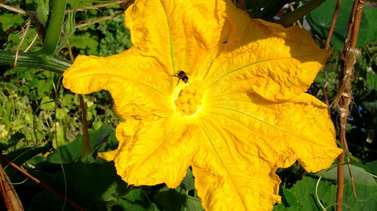bee on Pumpkin flower at Bealtaine Cottage