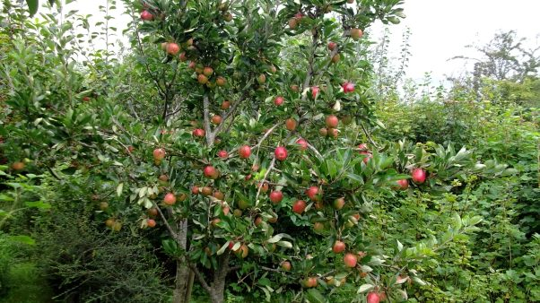 Bealtaine Cottage Apple tree