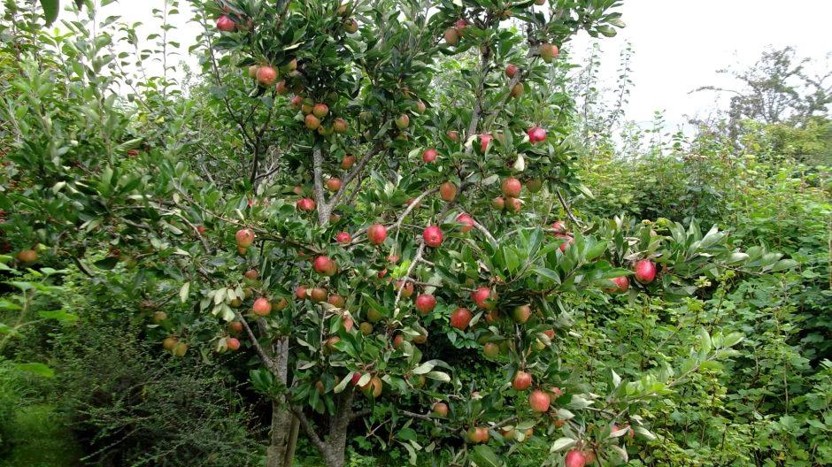Bealtaine Cottage Apple tree